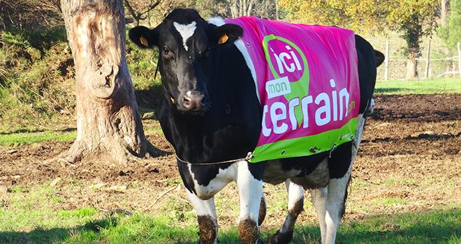 Vache connectée et habillée Ici mon terrain