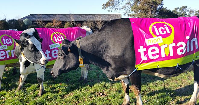 Les vaches connectées !